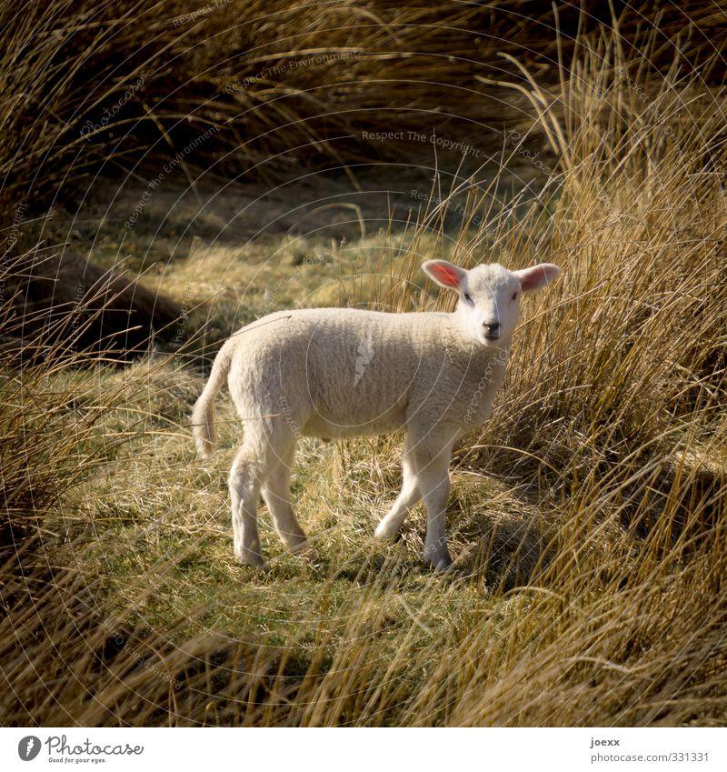Nachwuchs-Model Natur Landschaft Tier Wiese Tierjunges beobachten Schaf Nutztier