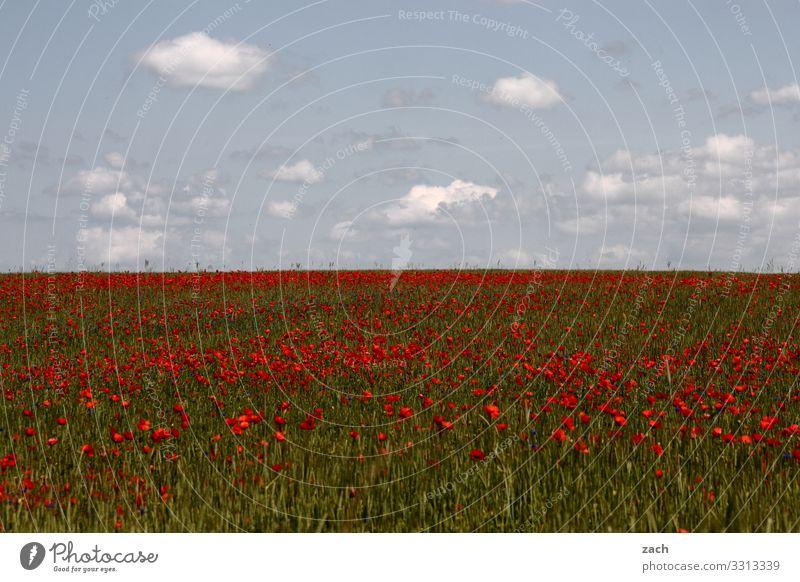 wie sich Frühling anfühlt Landwirtschaft Landschaft Himmel Wolken Schönes Wetter Pflanze Blume Blüte Nutzpflanze Mohn Mohnblüte Wiese Feld Brandenburg Wachstum