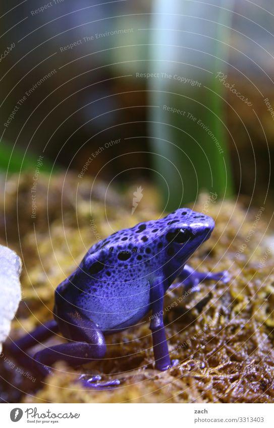 Ich nehm keine Drogen, ich leck Frösche blau Tier Wiese Feld sitzen exotisch Ekel Frosch Gift Lurch Pfeilgiftfrosch