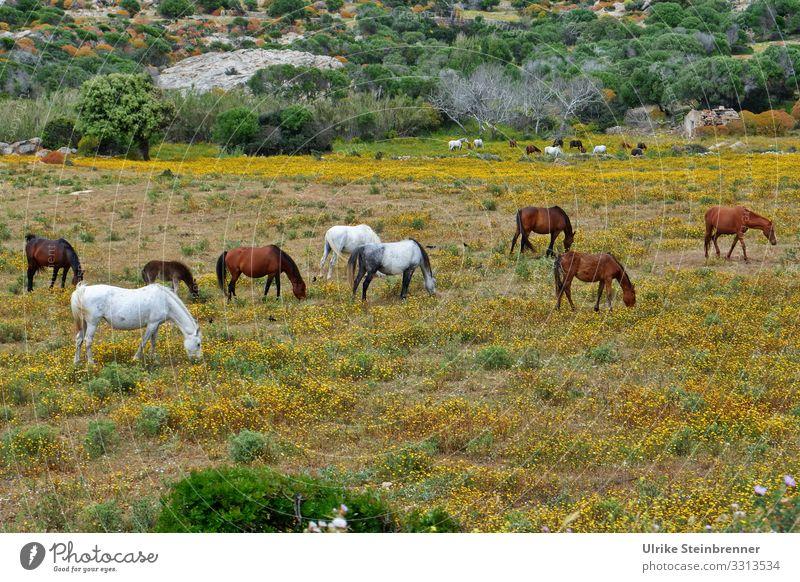 Wildpferde auf der sardischen Insel Asinara Pferde Equus ferus Sardinien Naturschutzgebiet Nationalpark Herde Tierschutz freilebend wild natürlich geschützt