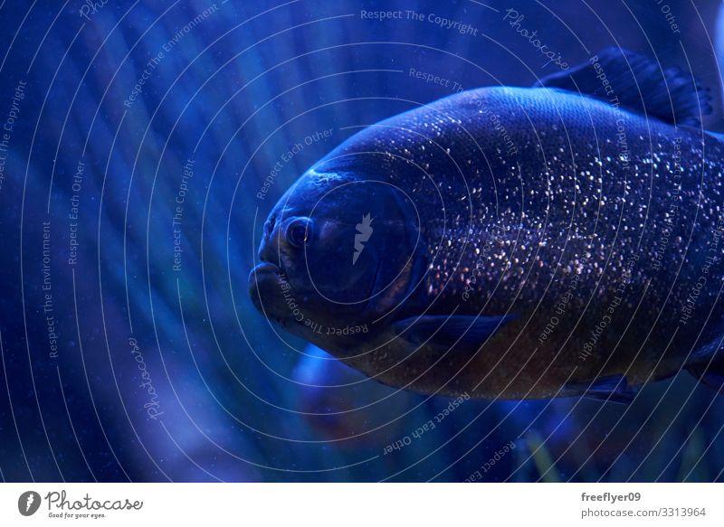 Tropische Fische mit reflektierenden Schuppen in der Dunkelheit exotisch schön Leben Meer Natur Tier Wildtier Tiergesicht Zoo Aquarium 1 Bewegung dunkel hell