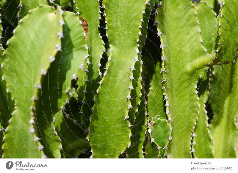 Nahaufnahme einer grünen Kaktus-Textur Design exotisch schön Haut Natur Pflanze Blatt Wachstum frisch stachelig gefährlich Farbe Oberfläche Linien ornamental