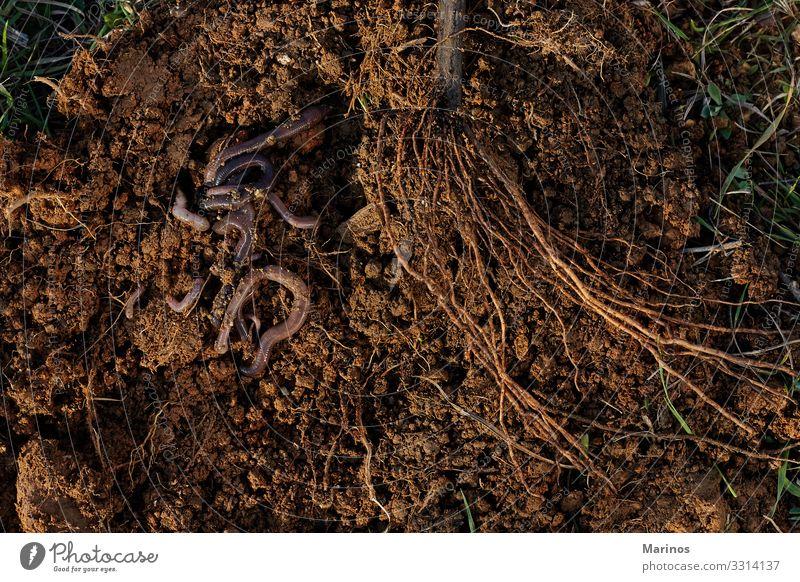 Wurzeln von Bäumen und Würmern auf dem Boden. Gemüse Garten Natur Pflanze Tier Erde Regen Baum Wurm natürlich braun Kompost Worms Regenwurm Hintergrund