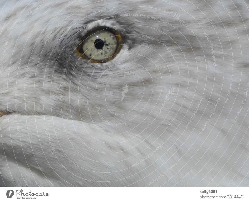 Ein Augenblick... Tier Vogel Tiergesicht Möwe 1 Tierjunges beobachten schön einzigartig Neugier grau weiß Überwachung Pupille Regenbogenhaut Feder Farbfoto