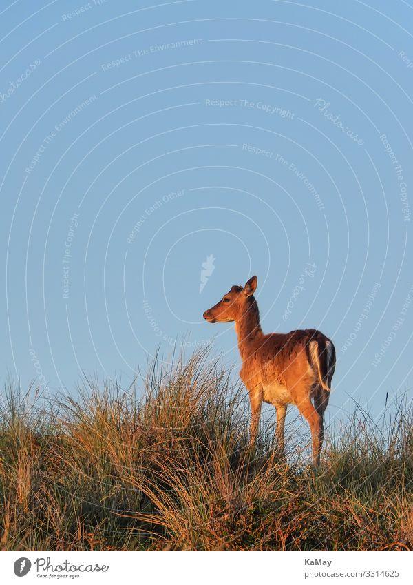 Damhirsch im Abendlicht Tier Wolkenloser Himmel Frühling Schönes Wetter Hügel Düne Wildtier Cervinae 1 Blick stehen blau braun Natur Umwelt Damwild Hirsche Horn