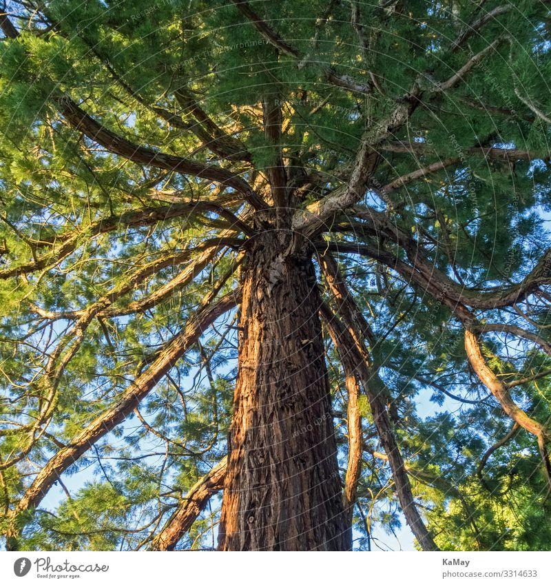 Mammutbaum (Sequoia) Natur Pflanze Baum Wildpflanze exotisch Park Wald USA Amerika natürlich grün Umwelt Zypresse Botanik Quadrat Farbfoto Außenaufnahme