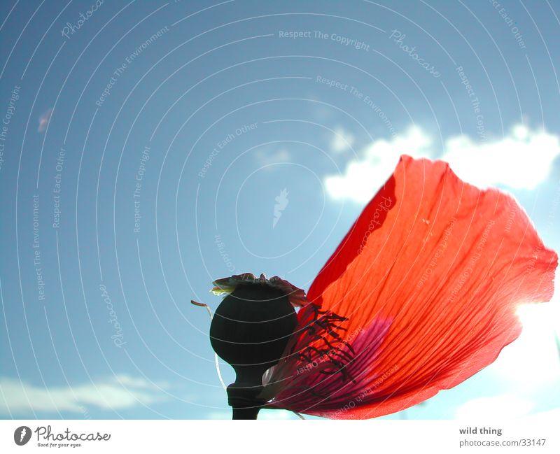 papaver dans Wind Mohn