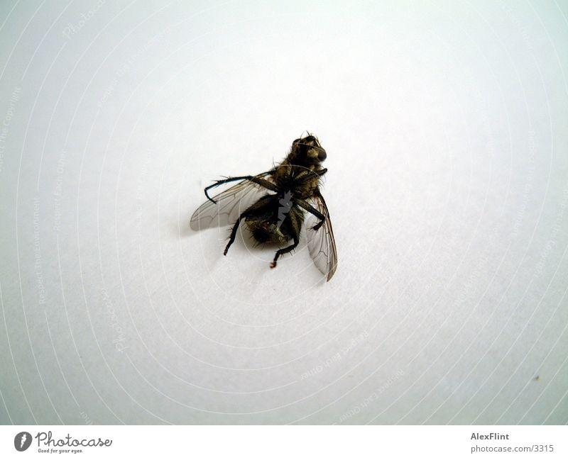 betrunkene fliege #2 Insekt Verkehr Fliege Makroaufnahme