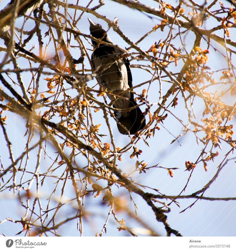 diebische Elster Vogel beobachten gelb Wachsamkeit Schutz Himmel Sträucher Zweige u. Äste Suche Dieb Rabenvögel Garten Park Baum Tag Froschperspektive