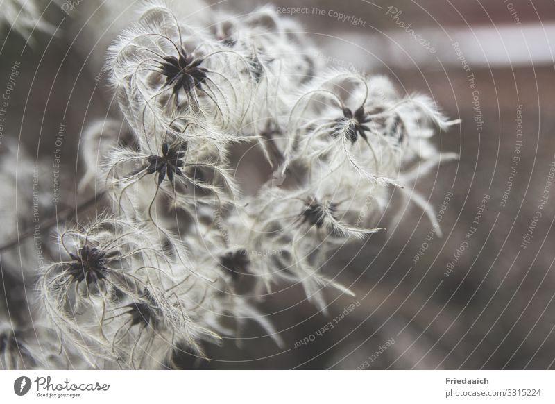Verblühte Waldrebe Natur Pflanze Winter Wildpflanze Blühend entdecken Blick verblüht dehydrieren außergewöhnlich authentisch fantastisch weiß einzigartig