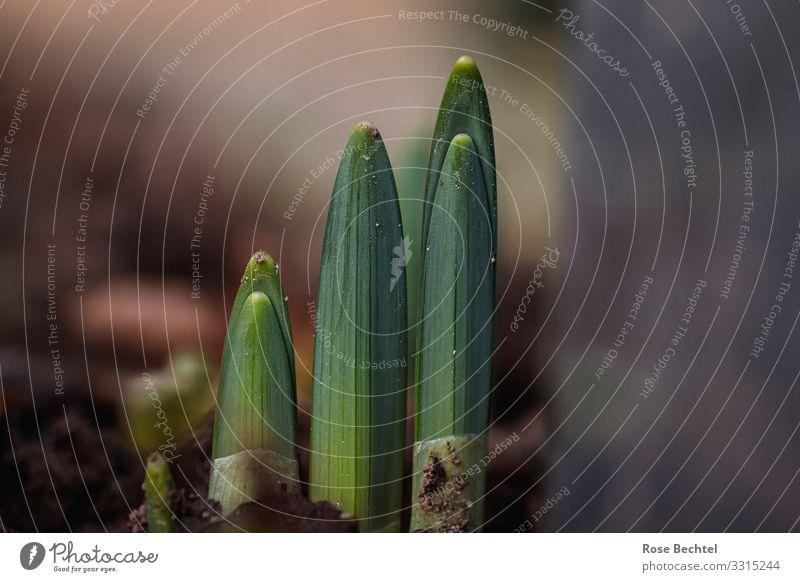 Die ersten Triebe Natur Pflanze grün Winter Frühling natürlich braun Wachstum Kraft Erfolg Beginn positiv Vorfreude Frühlingsgefühle Grünpflanze