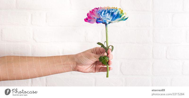 Mehrfarbige Blume in weiblicher Hand auf weißem Wandgrund. mehrfarbig Farbe Blütenblatt Frau Halt Hintergrund neutral rosa rot Roséwein blau gelb orange