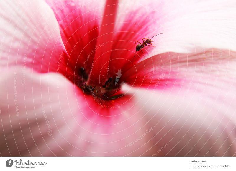 hibiskusschnuppernde ameisen blühen duften blütenblätter klein krabbeln Blume Blüte Pflanze Natur Farbfoto Garten Außenaufnahme Nahaufnahme Sommer Menschenleer
