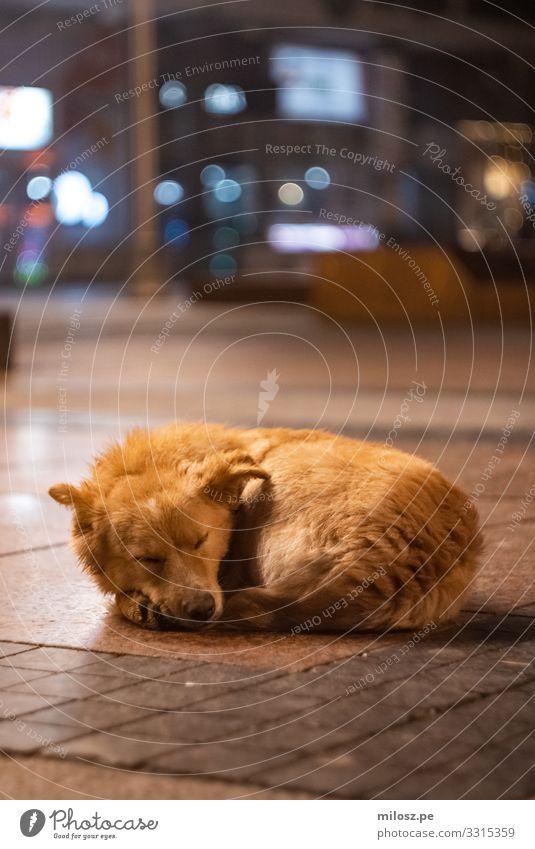 Schlafender Hund Stadt Platz Tier Haustier 1 liegen schlafen authentisch kalt kuschlig natürlich schön trist weich blau braun orange Warmherzigkeit Tierliebe