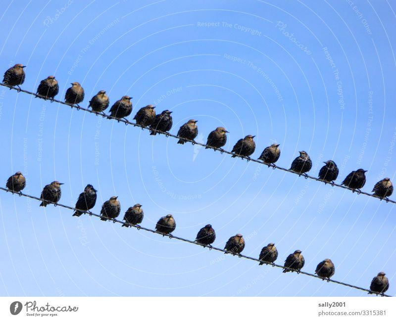 Star - Gruppenbildung... Vogel Vogelschwarm Schwarm Zugvogel Draht Stromleitung sitzen versammeln Himmel Tier Tiergruppe Kommunikation Zusammenhalt warten Natur