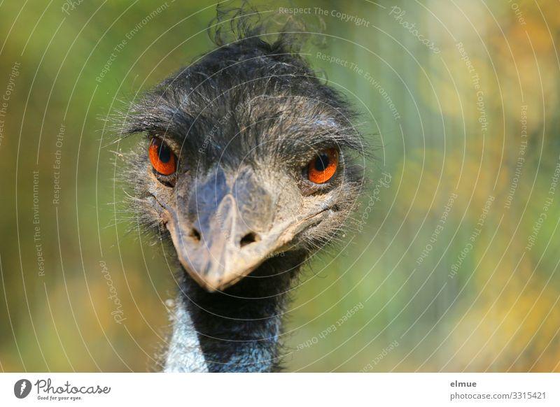 yes Vogel Nandu Schnabel Auge Feder Kommunizieren Blick lustig nah Neugier verrückt Freude Lebensfreude Wachsamkeit Kontakt Kontrolle skurril bezaubernd