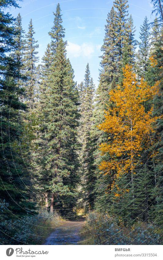 Waldweg Umwelt Natur Landschaft Pflanze Herbst Baum Tanne Laubbaum Zufriedenheit Schutz Geborgenheit Idylle Umweltschutz Vergänglichkeit Wege & Pfade Kanada