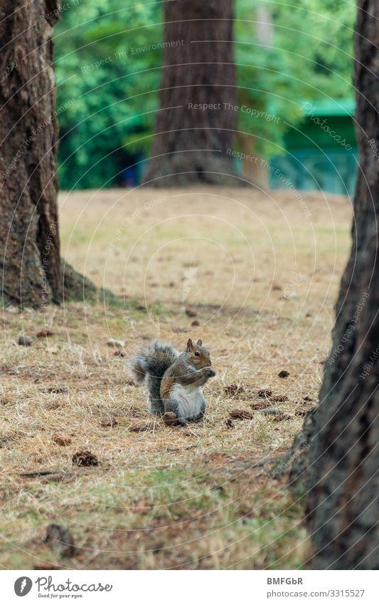 Pummliges Grauhörnchen Natur Tier Baum Park Wald Wildtier Eichhörnchen 1 Essen festhalten Fressen sitzen dick lustig niedlich Freude Zufriedenheit Tierliebe