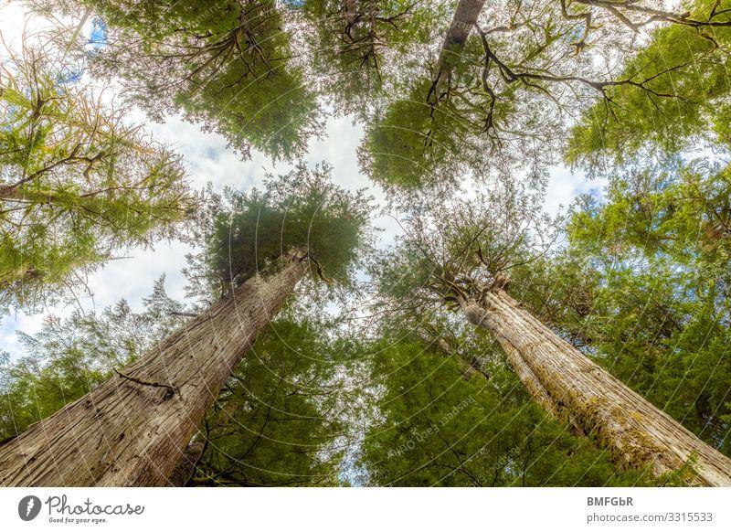Göttliches Baumdach Umwelt Natur Landschaft Pflanze Douglasien Park Wald Kanada außergewöhnlich gigantisch groß hoch positiv stark Begeisterung Kraft achtsam