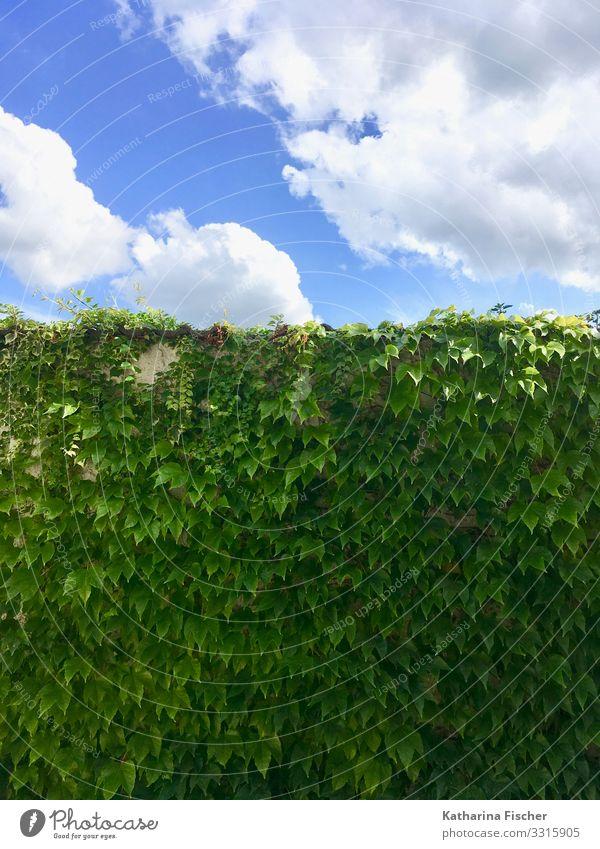 the green wall Umwelt Natur Tier Himmel Wolken Frühling Sommer Herbst Klima Schönes Wetter Pflanze Efeu Blatt Grünpflanze leuchten Wachstum blau grün weiß