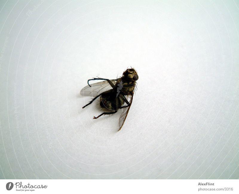 besofene fliege #1 Insekt Fliege Makroaufnahme