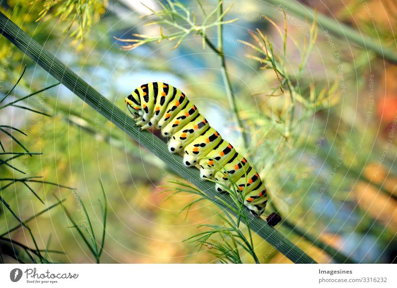 Raupe vom Schmetterling Schwalbenschwanz Papilio machaon auf frischem grünem Dill Anethum graveolens im Garten. Caterpillar auf Dill. Schmetterlingsraupe bekannt als der gemeine gelbe Schwalbenschwanz.