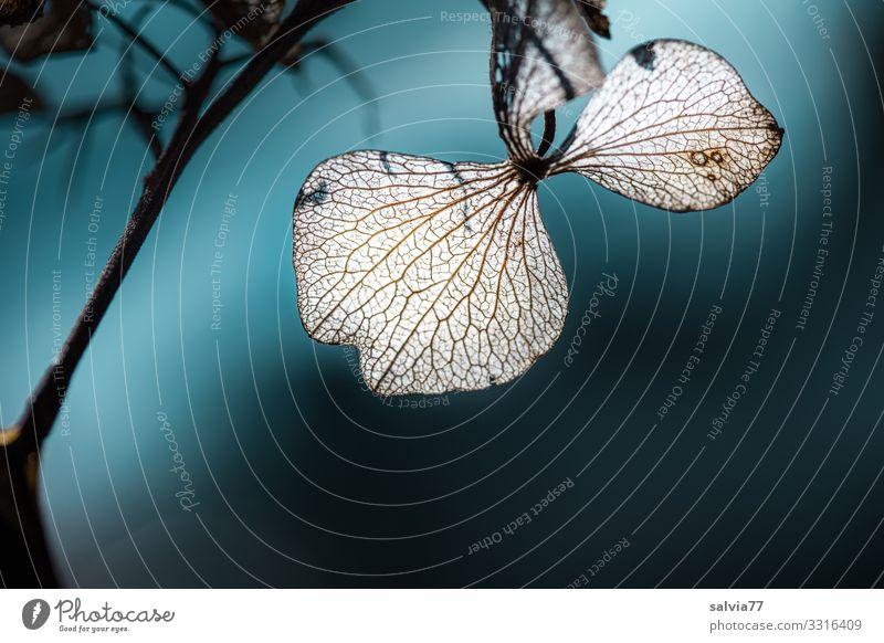 filigran Umwelt Natur Pflanze Herbst Winter Blüte Blattadern Hortensienblüte Garten kalt Vergänglichkeit Wandel & Veränderung verblüht Farbfoto Außenaufnahme