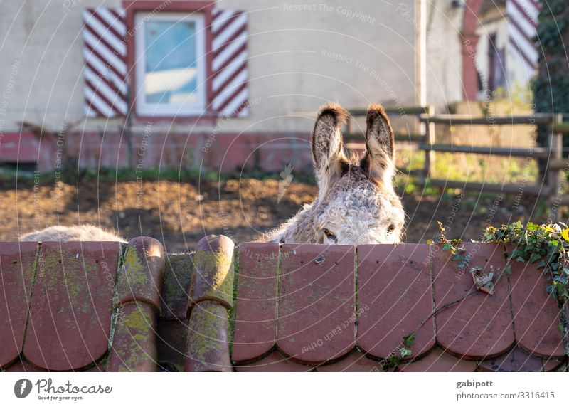 du siehst mich nicht Ohr Tier Nutztier Esel 1 beobachten hören Kommunizieren kuschlig Tierliebe Reiterhof Lebewesen Eselsohr Eselsbrücke Schüchternheit
