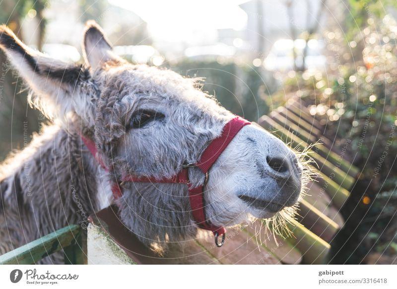 IA - ich armer alter Esel Tier Nutztier Eselsohr 1 kuschlig natürlich weich Bauernhof Biologische Landwirtschaft tierisch Tierliebe stur grau Farbfoto