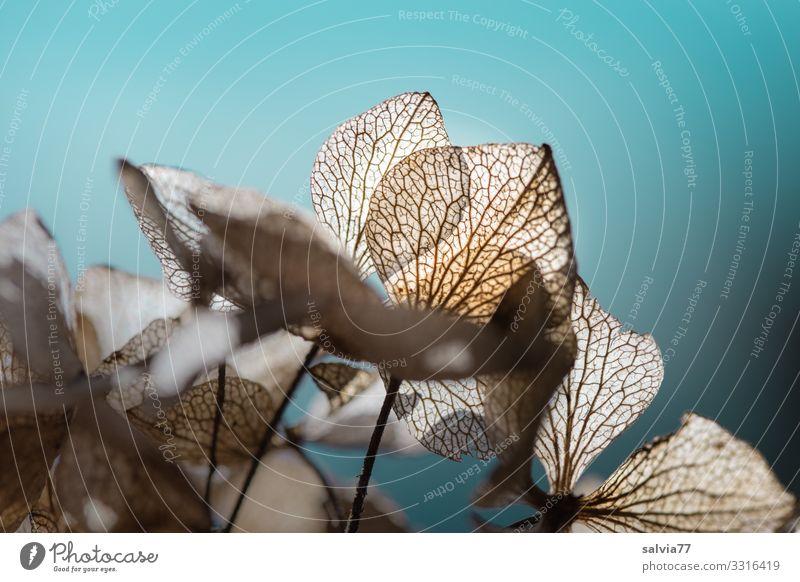 verblühte Hortensienblüten im Gegenlicht Hoetensie Blüten Pflanze Natur Vergänglichkeit Strukturen & Formen Farbfoto Herbst Blatt Blattadern vergänglich