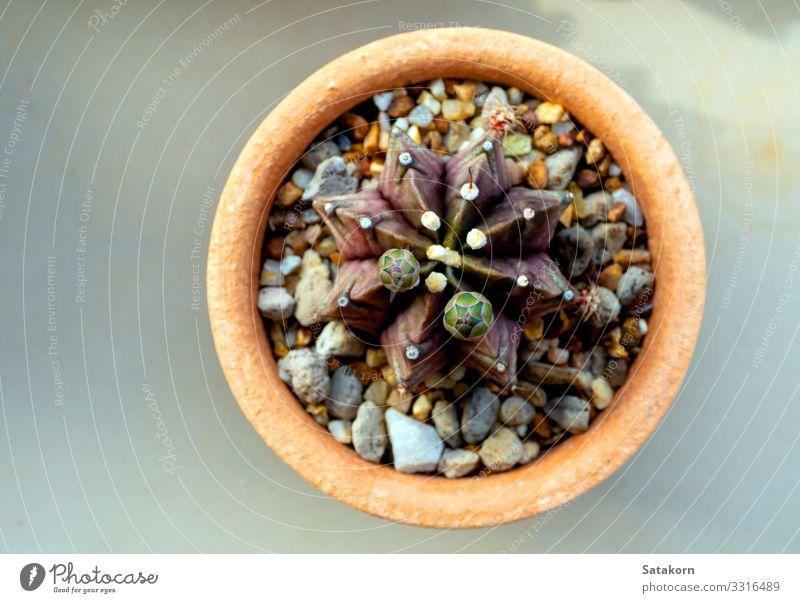 Eine kleine Knospe der Gymnocalycium-Kaktusblüte Garten Natur Blume Topfpflanze Wachstum frisch natürlich grün weiß Blütenknospen stechend Stachel Sukkulenten