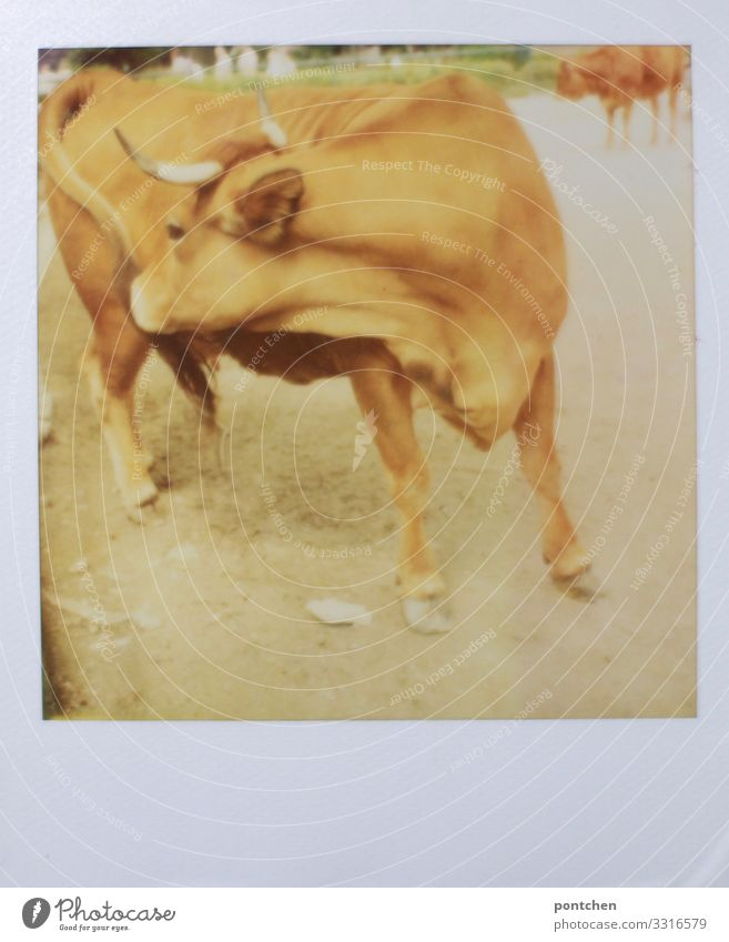 Polaroid einer Kuh, die sich mit der Zunge selbst reinigt. Landwirtschaft, viehwirtschaft.nutztier Tier Nutztier 1 dreckig Bulle Rind Ochse Juckreiz Allgäu Horn