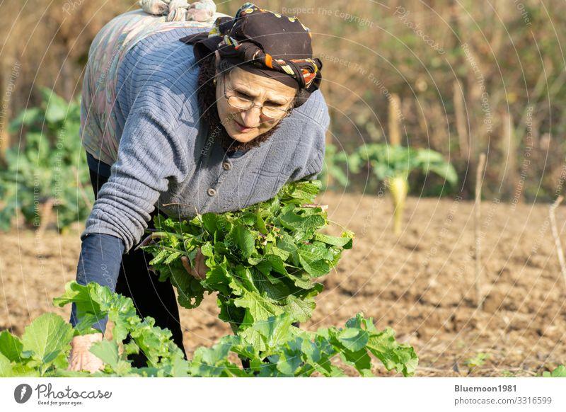 Eine ältere Frau beim Pflücken von frischem Kräutergemüse Gemüse Ernährung Lifestyle Stil Gesunde Ernährung Leben Freizeit & Hobby Garten Mensch Erwachsene