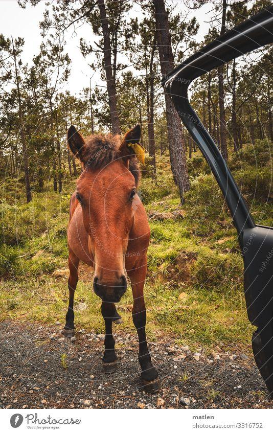 Anhalter Pflanze Baum Wald Tier Pferd Tiergesicht 1 stehen blau braun gelb grün Autotür offen Neugier Farbfoto Außenaufnahme Nahaufnahme Textfreiraum links