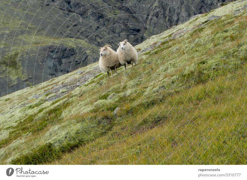 zwei Schafe stehen eng beieinander an einem stark abfallenden Hang Tiere Island Landschaft Natur Wiese Nutztier Außenaufnahme Menschenleer Farbfoto hanglage