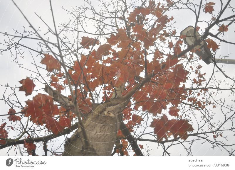 nach oben gucken Baum Baumstamm Ast Blatt Herbstlaub Wetter Jahreszeiten rotes Laub herbstlich Zweig Straßenbeleuchtung Blick nach oben Traurigkeit ruhig