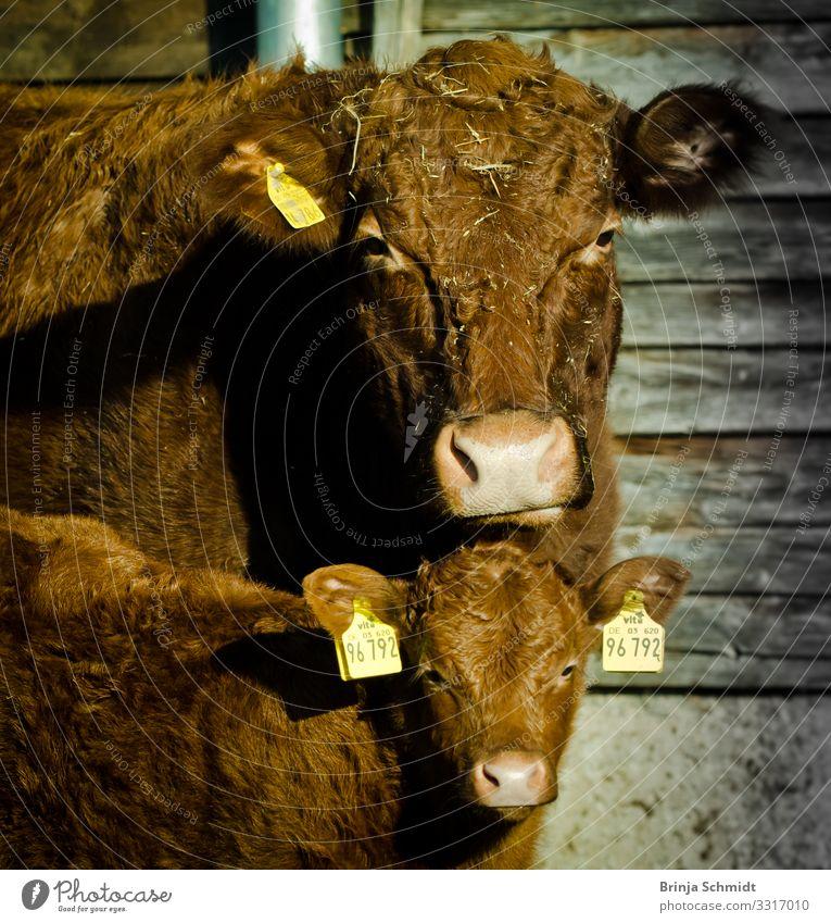 Portrait einer braunen Kuh mit ihrem Kalb Nutztier Fell 2 Tier Blick Wachstum warten außergewöhnlich Coolness Freundlichkeit muskulös niedlich Fröhlichkeit