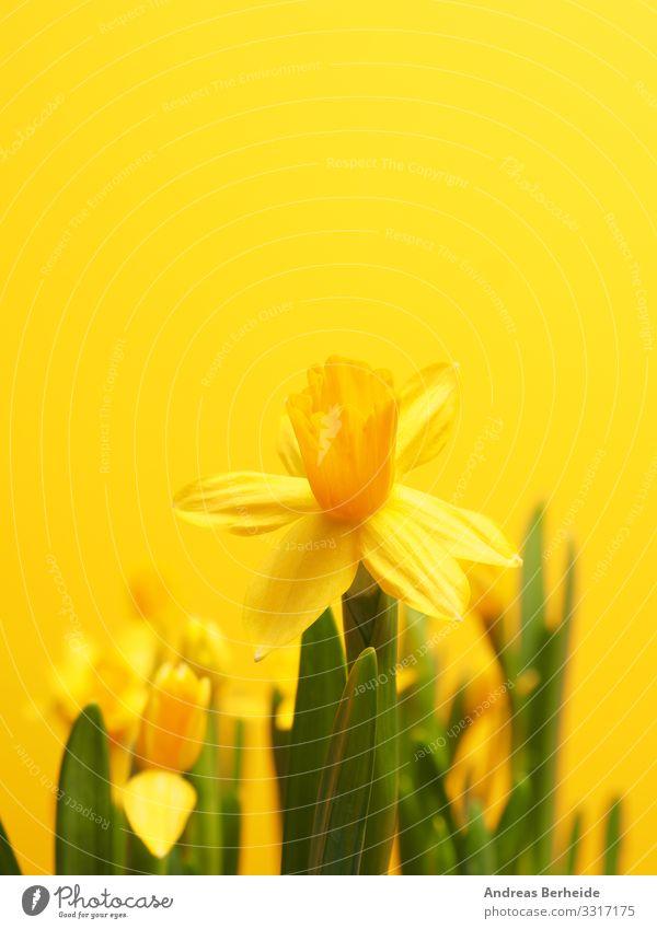 Beautiful daffodils against a yellow background Leben Winter Valentinstag Natur Pflanze Frühling Blume springen gelb Beginn Fortschritt Wachstum many row easter