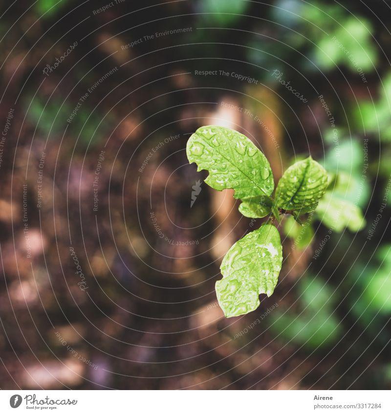 junger Trieb, etwas angefressen Blatt Frühling Erde Hintergrund unscharf Waldboden Vogelperspektive schadhaft Grünfutter Baumschössling Jungpflanze Entfaltung
