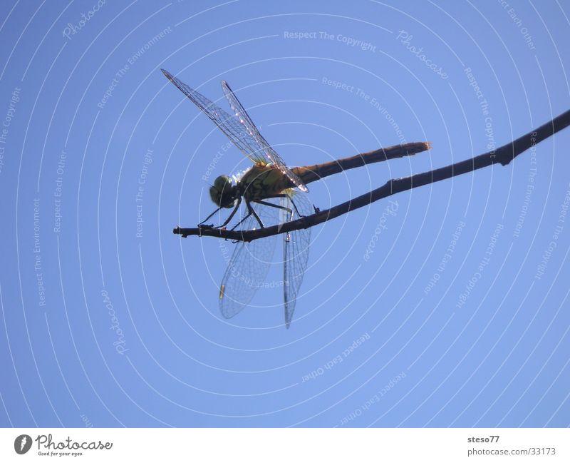Libelle Insekt Makroaufnahme Detailaufnahme Himmel Ast