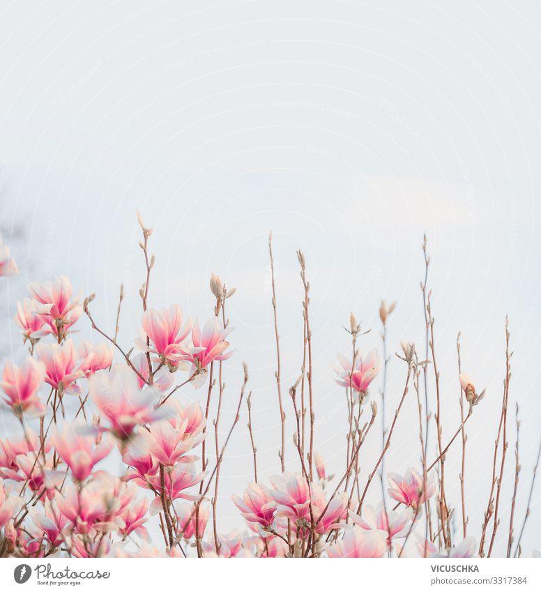 Reizendes rosa Blühen der Magnolie Natur Pflanze Frühling Schönes Wetter Blume Blüte Garten Park Design Magnoliengewächse Hintergrundbild Farbfoto Außenaufnahme