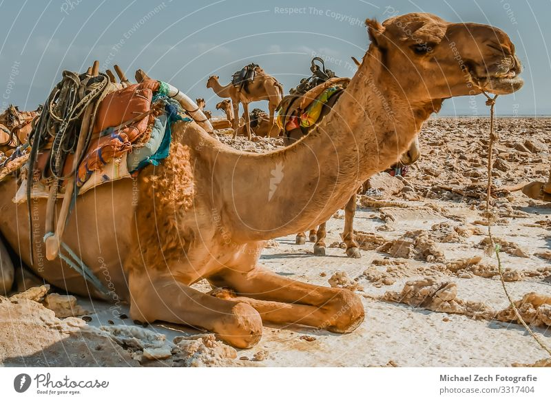 Rastende Kamelkarawane beim Salzabbau in Danakilm Teller Erholung Ferien & Urlaub & Reisen Tourismus Abenteuer Ferne Arbeit & Erwerbstätigkeit Menschengruppe