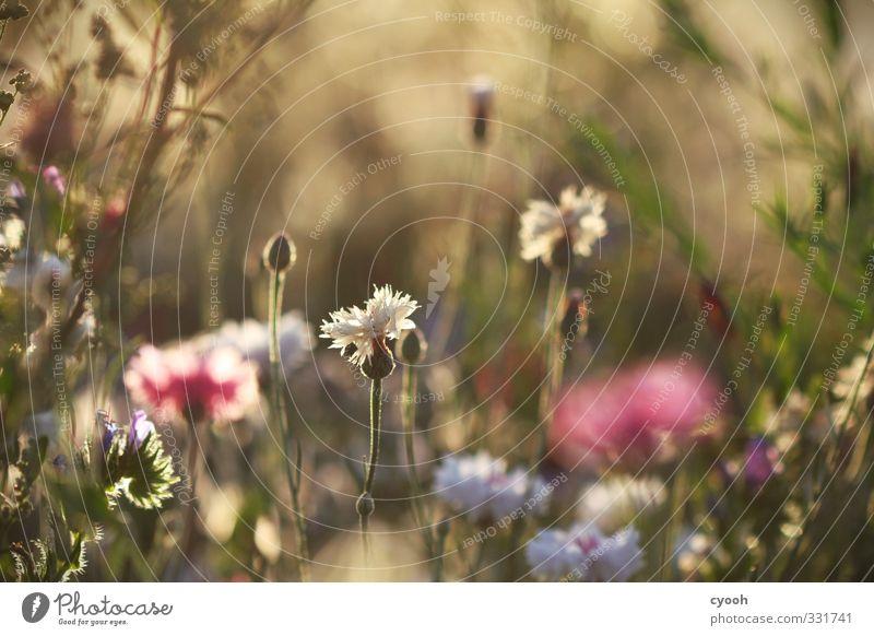 eintauchen Natur schön Sommer Blume Wiese Wärme Leben Blüte hell träumen Feld gold wild Zufriedenheit leuchten Wachstum