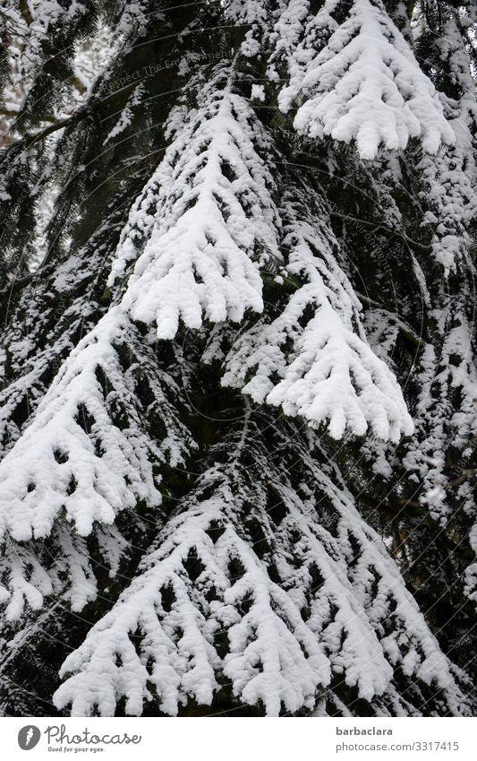 schwarz-weißer Nadelbaum Natur Pflanze Winter Eis Frost Schnee Baum Fichte Tanne stehen ästhetisch dunkel hell hoch kalt bizarr Klima Überleben Umwelt