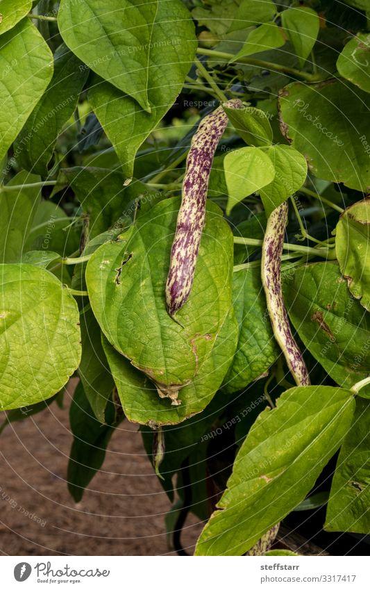Violette und gelbe Drachenzungenbohnen Phaseolus vulgaris Gemüse Gesunde Ernährung Garten Natur Pflanze natürlich grün violett Bohnen gefleckt purpur Brechbohne
