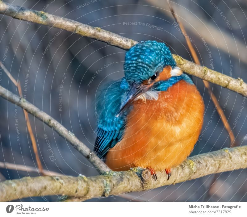 Eisvogel auf der Sitzwarte Umwelt Natur Tier Sonnenlicht Schönes Wetter Seeufer Flussufer Wildtier Vogel Tiergesicht Flügel Krallen Eisvögel Kopf Schnabel Auge