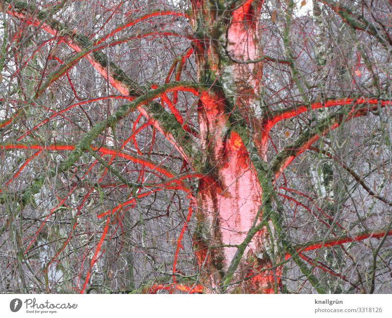 Illumination Natur Pflanze rot Baum Kunst braun leuchten Kreativität einzigartig Birke Birkenwald