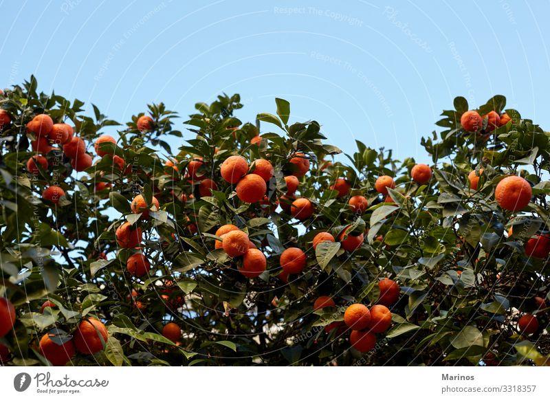 Mandarinenbaum voller Früchte. Frucht Garten Natur Baum Blatt Wachstum hell grün orange Jahr Chinesisch Zitrusfrüchte Valencia Lebensmittel Hain Markt