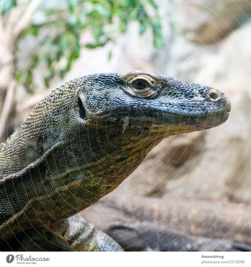 Waran Umwelt Natur Pflanze Tier Nutztier Schuppen Zoo Warane Echsen Echte Eidechsen Reptil 1 alt exotisch blau mehrfarbig Auge Tierhaut Nüstern Lebewesen Leben