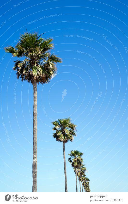 palmen Ferien & Urlaub & Reisen Tourismus Ausflug Ferne Freiheit Umwelt Natur Himmel Wolkenloser Himmel Sommer Pflanze Baum Palme Küste Strand Meer dünn blau